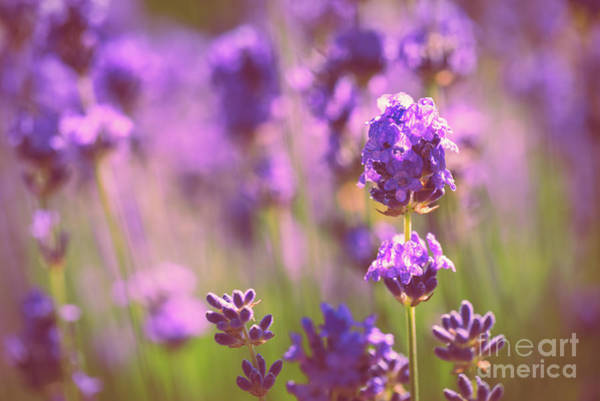 Wall Art - Photograph - Sunny Lavender by Delphimages Photo Creations