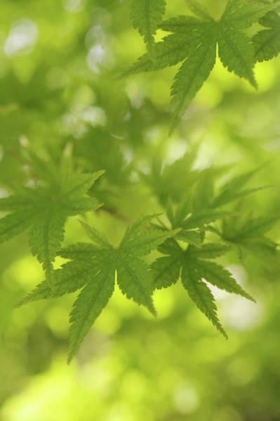 Photograph - Sunny Leaves Of Maple Tree 2 by Jenny Rainbow