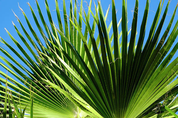 Photograph - Sunny Palm Leaves by August Timmermans