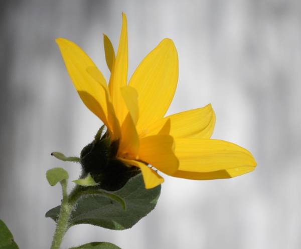 Photograph - Sunny Yellow Tiny Sunflower by Tina M Wenger