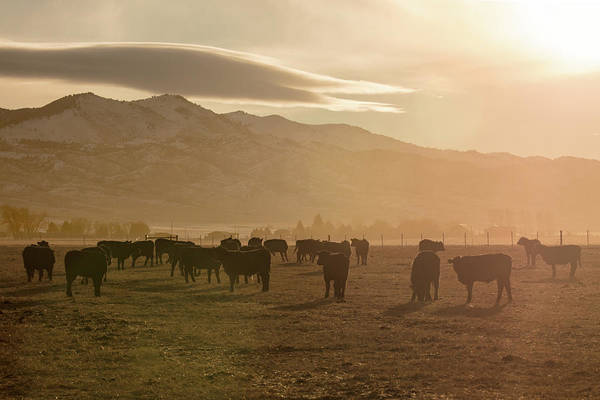 Wall Art - Photograph - Sunnyside Angus by Todd Klassy