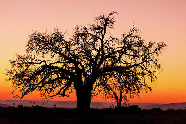 Wall Art - Photograph - Sunrise And Silhouetted Lone Tree Namib by Darrell Gulin