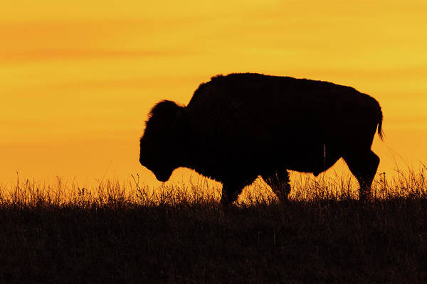 Photograph - Sunrise Bison by Jay Stockhaus