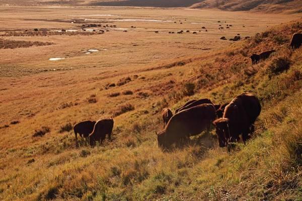 Grazing Photograph - Sunrise On Bison Bison Bison Grazing On by Design Pics / David Ponton