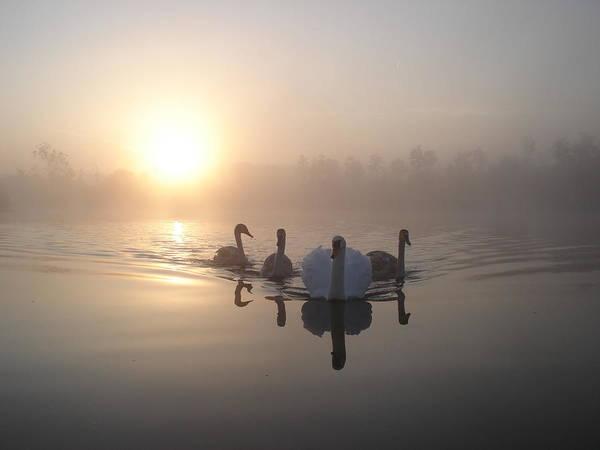 Cygnet Wall Art - Photograph - Sunrise Swans by Bryan Garnett Photography