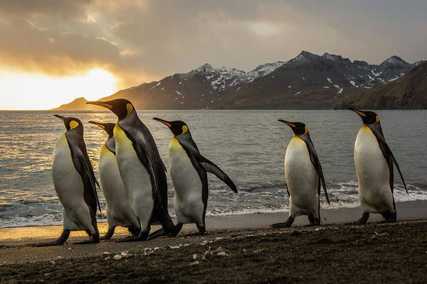 Wall Art - Photograph - Sunrise With Marching King Penguins by Tom Norring