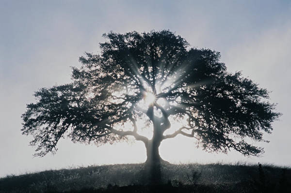 Trees In Fog Photograph - Suns Rays Streaming Through Oak Tree by Gary Vestal