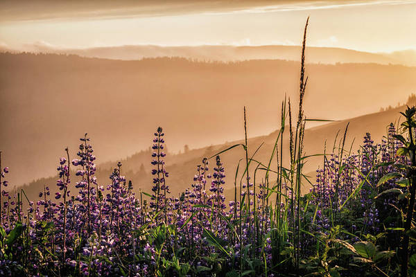 Photograph - Sunset Among The Lupine by Laura Roberts