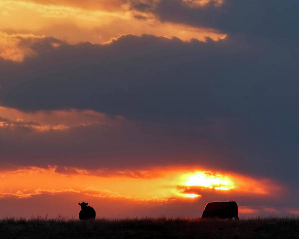 Photograph - Sunset And Cows 01 by Rob Graham