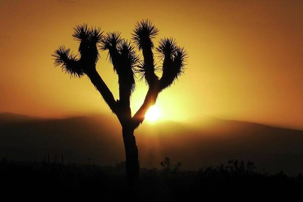 Photograph - Sunset Behind Joshua Tree by NaturesPix