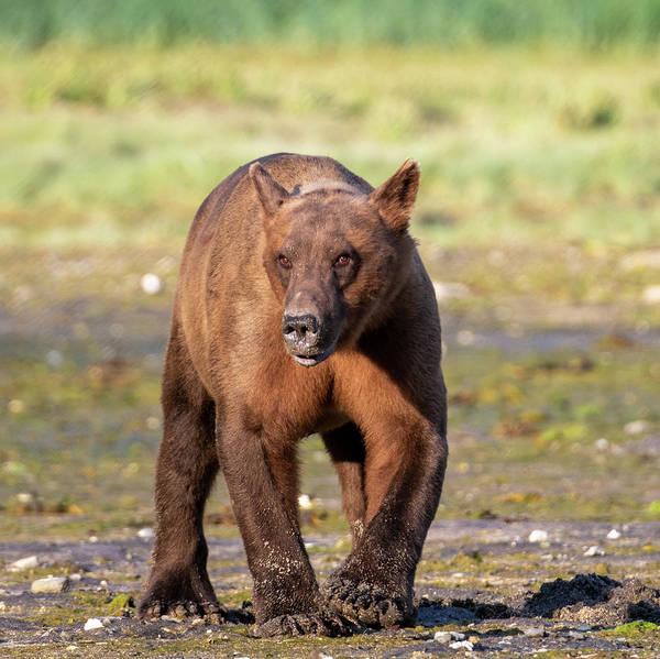 Photograph - Sunset Coastal Brown Bear In Katmai by Mark Hunter