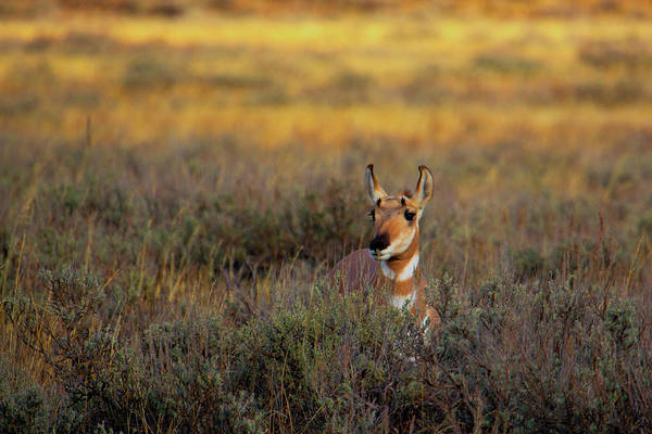 Photograph - Sunset Pronghorn by Pete Federico