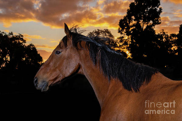 Photograph - Sunset Thoroughbred by Michelle Wrighton