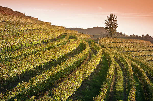 Friuli Photograph - Sunset View Over Vineyard Landscape In by Bosca78