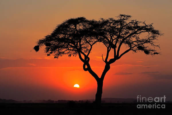 Sunset With Silhouetted African Acacia Art Print