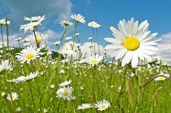 Daisy Photograph - Sunshine Daisies Vibrant Wild Meadow by Fotovoyager