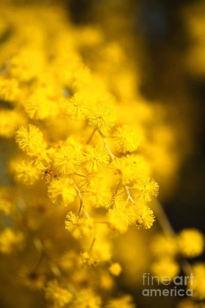 Photograph - Sunshine Is Wattle by Joy Watson
