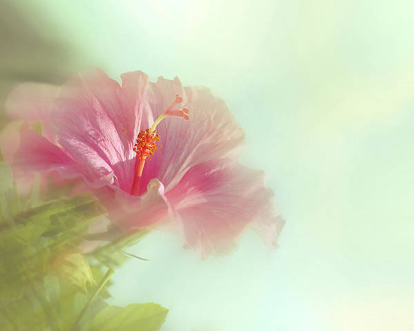 Photograph - Sunstream Hibiscus by Perry Correll
