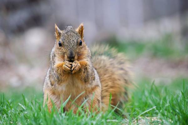 Photograph - Super Cute Fox Squirrel by Don Northup