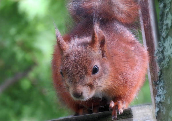 Photograph - Super Cute House Squirrel Closeup by Johanna Hurmerinta