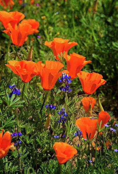 Photograph - Superbloom Poppies And Pygmy Lupine At The Poppy Reserve by Lynn Bauer