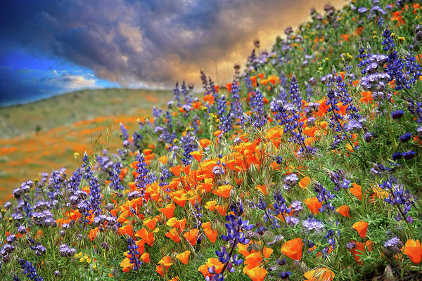 Photograph - Superbloom Wildflower Sunset by Lynn Bauer