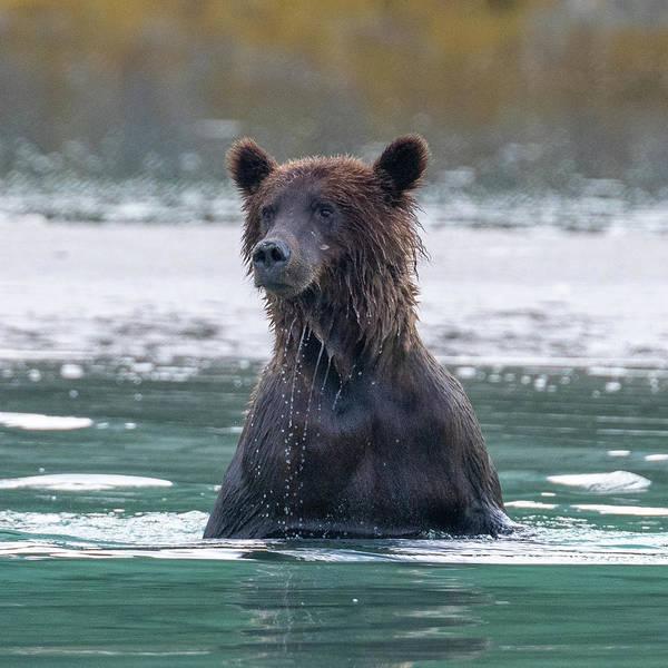 Photograph - Surfacing Bear by Mark Hunter