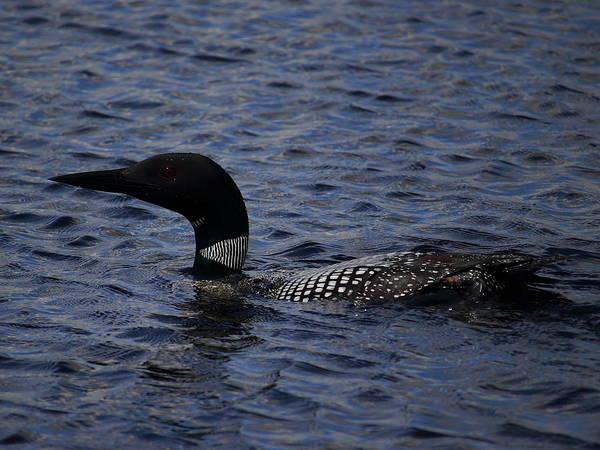 Photograph - Surfacing Loon by Dale Kauzlaric