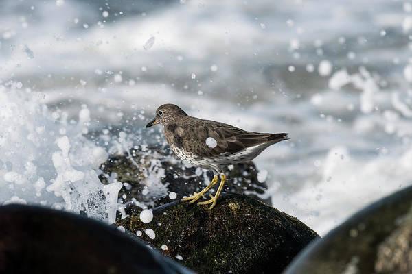 Photograph - Surfbird And Spray by Robert Potts