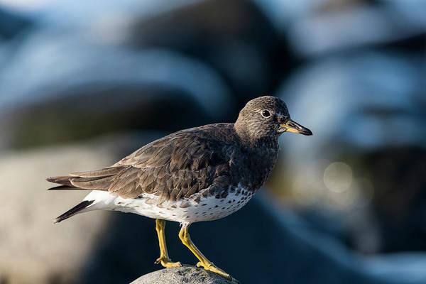 Photograph - Surfbird On The Shore by Robert Potts