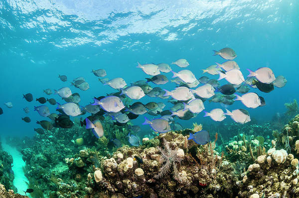 Honduras Wall Art - Photograph - Surgeonfishes by By Wildestanimal