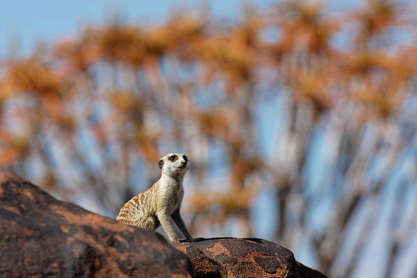 Wall Art - Photograph - Suricate - Quiver Tree Forest, Namibia by Jlr