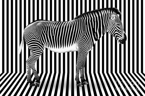 Wall Art - Photograph - Surreal Zebra On Striped Background by Delphimages Photo Creations