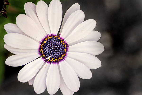 Photograph - Surreybrooke Gerbera by Don Johnson