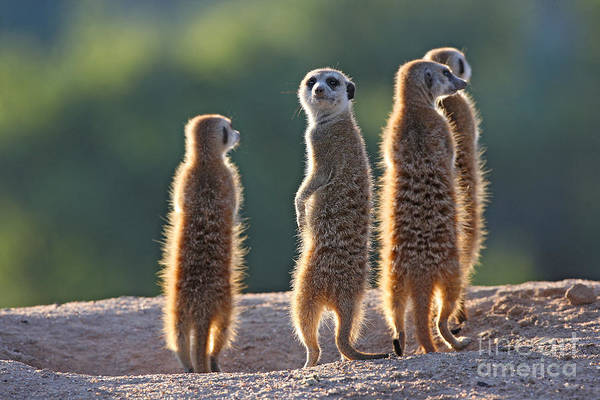 Wall Art - Photograph - Surricate Meerkats Standing Upright by Erwin Niemand