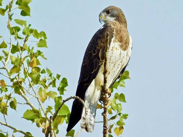 Photograph - Swainson's Hawk by Dan Miller