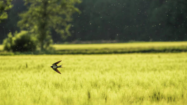 Wall Art - Photograph - Swallow Over A Wheat Field by Przemyslaw Iciak