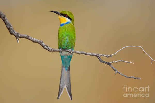 Wall Art - Photograph - Swallow-tailed Bee-eater Merops by Johan Swanepoel