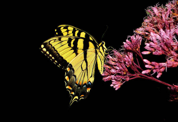 Wall Art - Photograph - Swallowtail Butterfly 025 by George Bostian