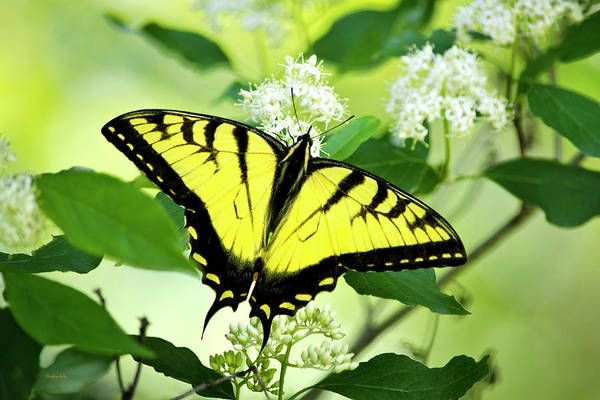 Photograph - Swallowtail Butterfly Feeding On Flowers by Christina Rollo