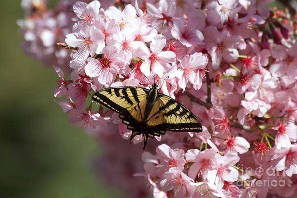 Wall Art - Photograph - Swallowtail Butterfly On Cherry Blossoms by Ruth Jolly
