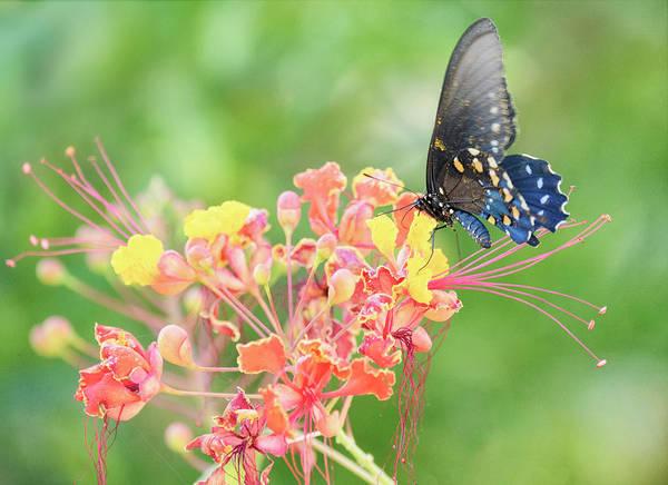 Wall Art - Photograph - Swallowtail Butterfly Wings  by Saija Lehtonen