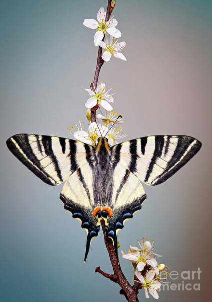 Photograph - Swallowtail by Marco Fischer