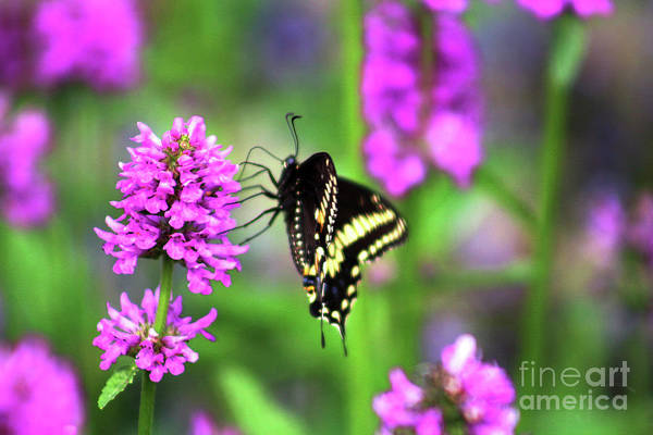 Wall Art - Photograph - Swallowtail On A Nepata by Verana Stark