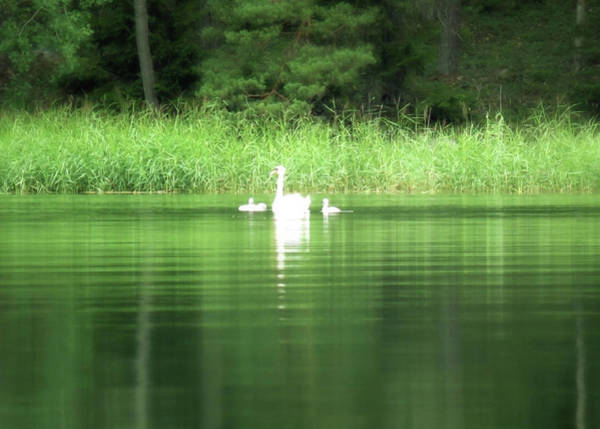 Wall Art - Photograph - Swan Family In A Peaceful Sea Bay  by Johanna Hurmerinta