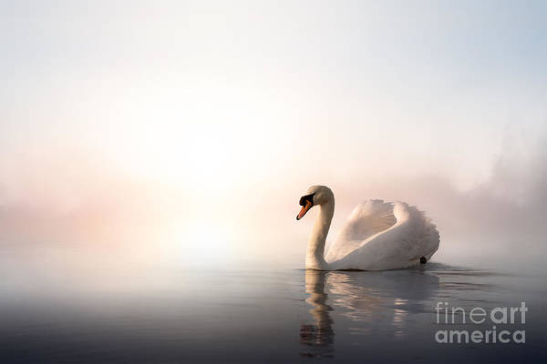 Swan Photograph - Swan Floating On The Water At Sunrise by Konstanttin