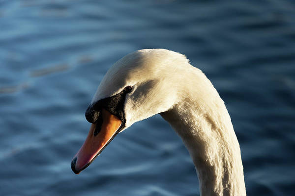 Photograph - Swan In The Afternoon by Scott Lyons