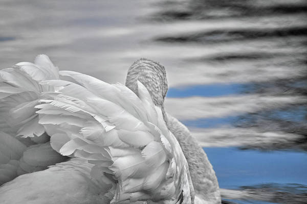 Wall Art - Photograph - Swan In The Clouds B And W by Maria Keady