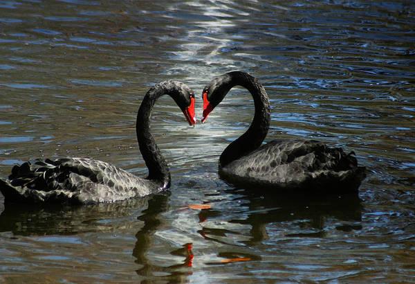 Photograph - Swan Love by Anthony Jones