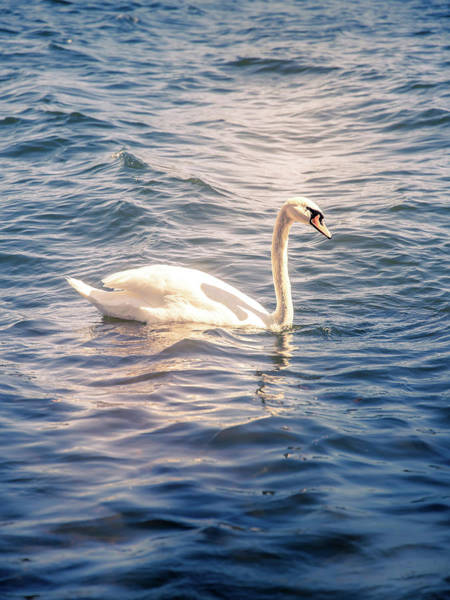 Wall Art - Photograph - Swan by Nicklas Gustafsson